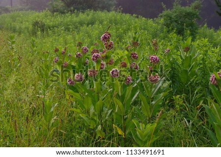 Milkweed flowers in a foggy meadow