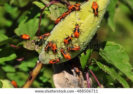 Milkweed Pod covered in bugs