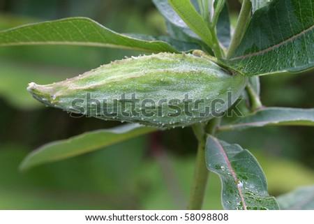 Milkweed Seed Pod Asclepias