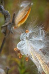 Milkweed seed pod bursting with seeds, mid-Autumn