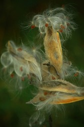 Milkweed seed pods in the fall of the year.