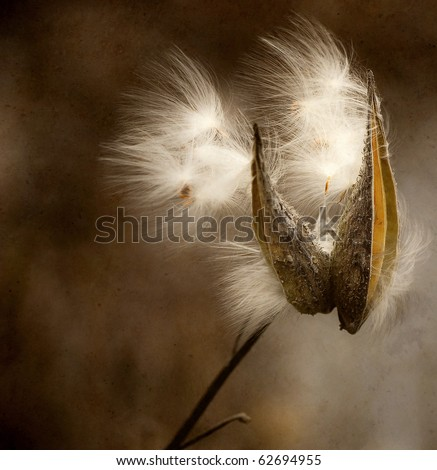 Milkweed seeds blowing in the Autumn breeze with antique texture.