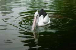 milky stork bird (Mycteria cinerea) swimming in the pond