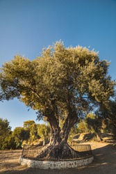 Millenary olive tree in Parc d'Estienne d'Orves (Olivier Millenaire du Parc Estienne) is an ancient olive tree and landmark in this park that conveys agricultural and rural concept - Nice, France