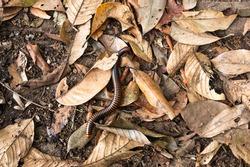 millepede on fallen leave, leaf decomposition