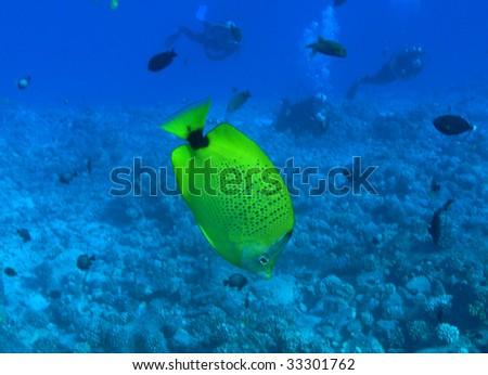 Milletseed Butterflyfish - stock photo