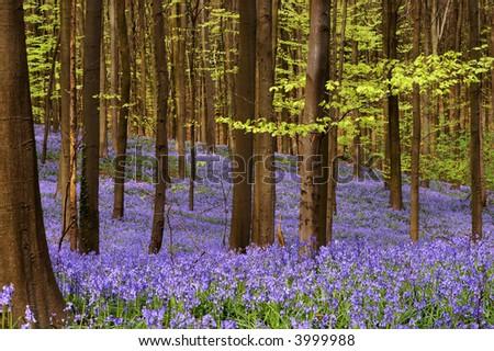 Millions of wild hyacinth flowers in the Hallerbos woods in Belgium
