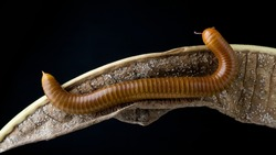 Millipede Asia on decomposing mango leaf showing its numerus legs and segmented body Millipedes are from the animal group arthropods