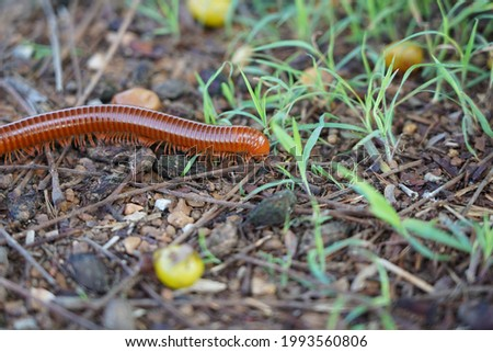 millipede walks for food on the ground in the forest.