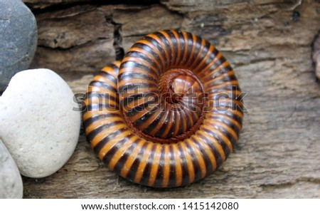 Millipedes come in a variety of body shapes and sizes, ranging from 2 mm (0.08 in) to around 35 cm (14 in) in length,[26] and can have as few as eleven to over a hundred segments.