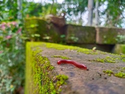 Millipedes in red colour. Creeping insect arthropods.