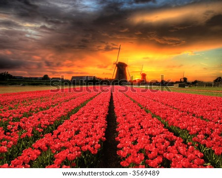 Mills with tulips in a beautiful sunset