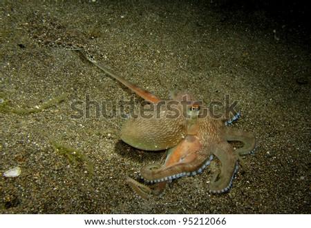 Mimic Octopus Flounder Mimic Octopus Catching a