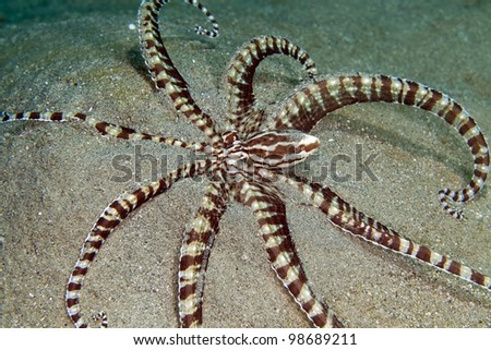 Mimic octopus in the Red Sea. - stock photo