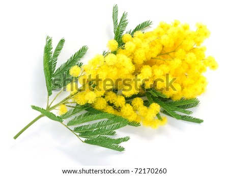 Mimosa - stock photo