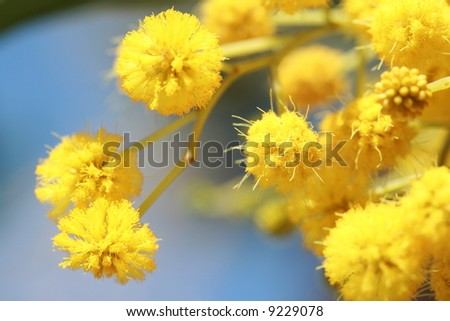 stock photo : mimosa - beautiful yellow spring flowers