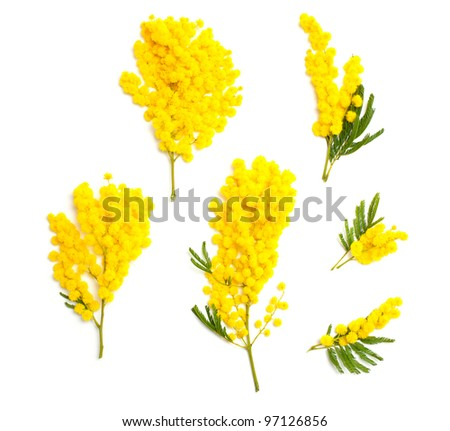 mimosa branches of different size and shape isolated on white background, top view