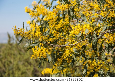 Free Photos Mimosa Bush With Big Yellow Ball Flowers And The Blue