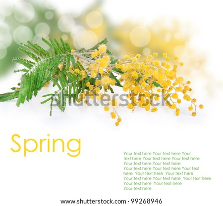 Mimosa flower isolated on white - stock photo