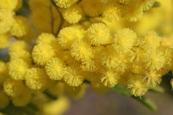 mimosa flowers or acacia dealbata in bloom symbol or logo for International Women's Day on March 8 close up also known as the sensitive plant, silver wattle or blue wattle, in spring in Italy