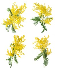 Mimosa flowers set isolated on white