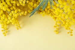Mimosa or silver wattle yellow spring flowers on the yellow background