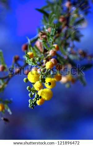 Mimosa. Plant has many globular golden yellow flowers. It is also known as Acacia.