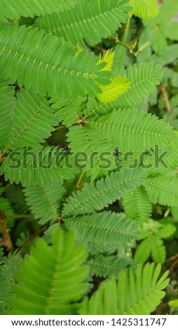 Mimosa pudica. beautiful, sensitive plant, shame plant, shy plant, sleepy plant.