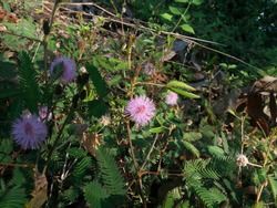 Mimosa pudica the compound leaves fold inward