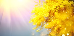 Mimosa Spring Flowers Easter background. Holiday backdrop, border art design. Blooming mimosa tree over blue sky, bright sun flare. Mother's Day. Garden, gardening. Spring holiday blossom