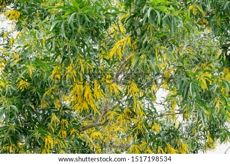 Mimosa trees and flowers in nature. Mimosa flower pollen allergies affect humans.