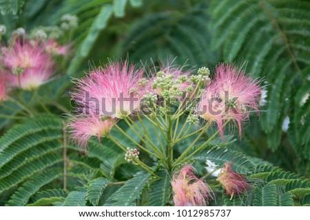 Royalty free pink fuzzy flowers and green fern like 299820194 mimoza tree with pink flowers persian silk tree albizia julibrissin 1012985737 mightylinksfo