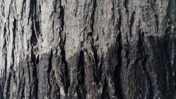 Mindi bark, Mindi is a tree plant of the Meliaceae family, good for the background