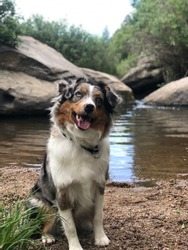 Mini Aussie in Castlewood Canyon