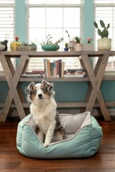 mini aussie in dog bed - australian shepherd dog with cocked head