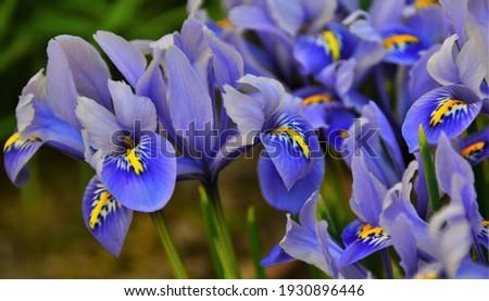 mini blue Iris flower, macro Foto stock ©