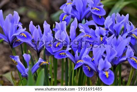 Mini blue Iris in early spring Foto stock ©
