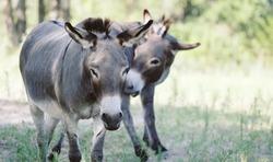 Mini donkeys in summer farm field.
