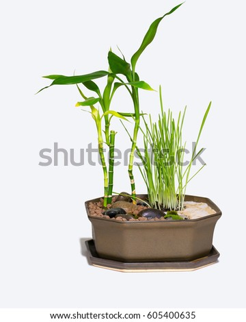 Mini garden with lucky bamboo, barley grass, moss, stones, sand and clay balls, isolated on white background #605400635