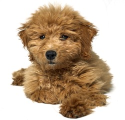Mini golden doodle on a white background