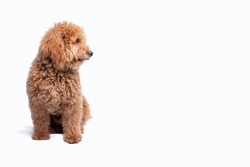 Mini golden doodle puppy looking at his side on a white background