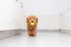 Mini golden doodle puppy playing with a tennis ball in the kitchen