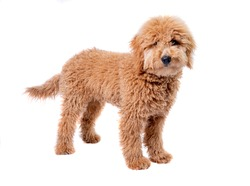 Mini golden doodle puppy standing in front of a full white background