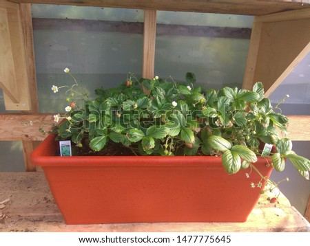 Mini homegrown strawberry patch in a greenhouse