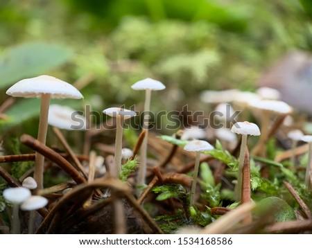 Mini mushrooms macro close up picture. Super small wild mushrooms. White mushrooms growing in forest.