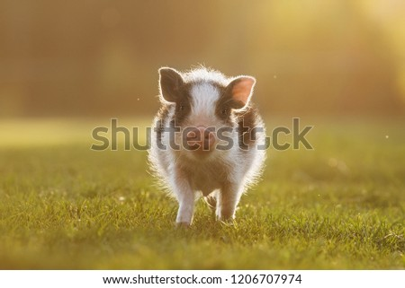 Mini pig walking in the yard at sunset