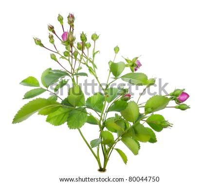 Mini pink rose bush with flowers buds  on bed isolated macro #80044750