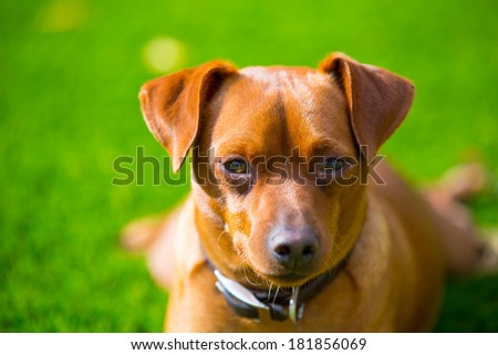 Mini pinscher brown little dog portrait lying in lawn relaxed