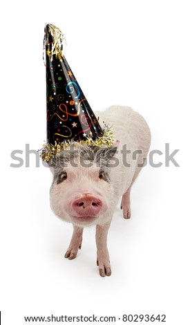 Mini pot bellied pig in a fun black party hat isolated on white