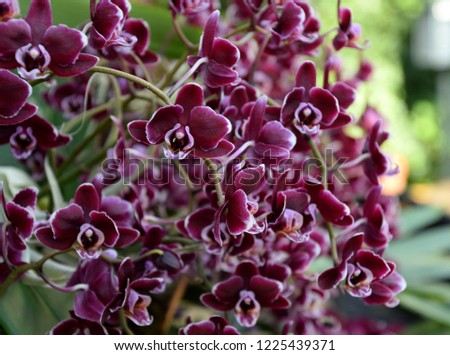 Mini purple phalenopsis orchid blooming, with many blooms #1225439371